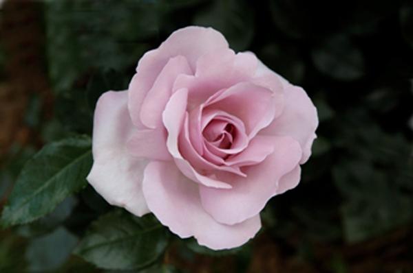 Au nom de la rose…