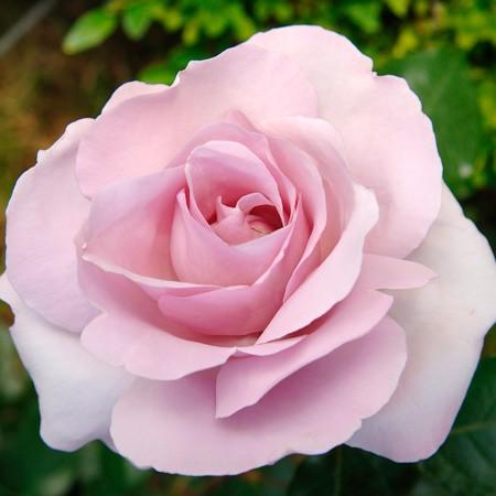 Des roses qui ont du coeur